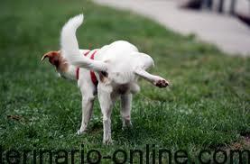 perrito haciendo pis