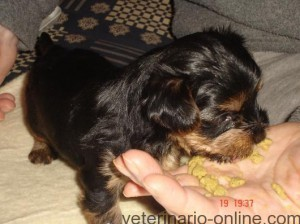Mi perro solo come de mi mano