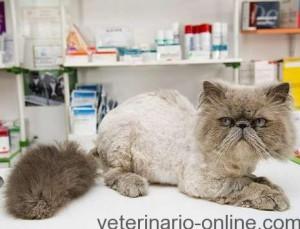 FUS (Síndrome Urológico Felino)