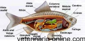 Anatomía y fisiología de los peces