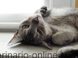El celo en la gata