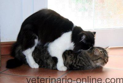veterinario gata en celo