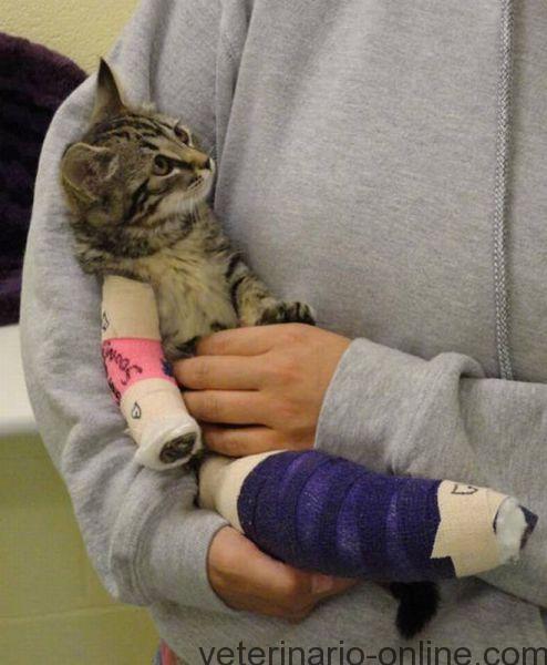 gato con rotura de hueso