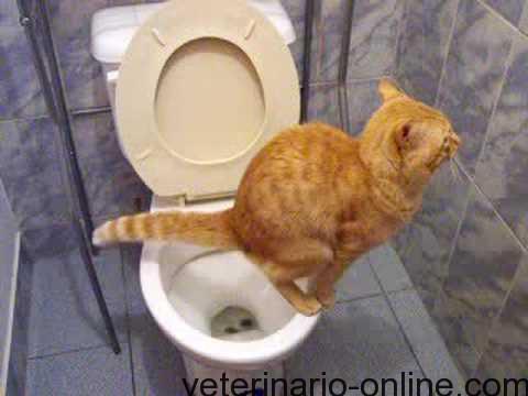 gatito se hace pis y caca en el water