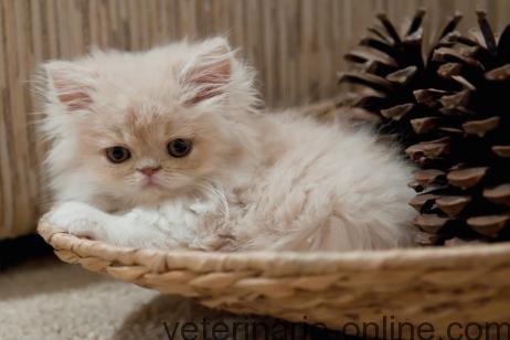 gatito presumido