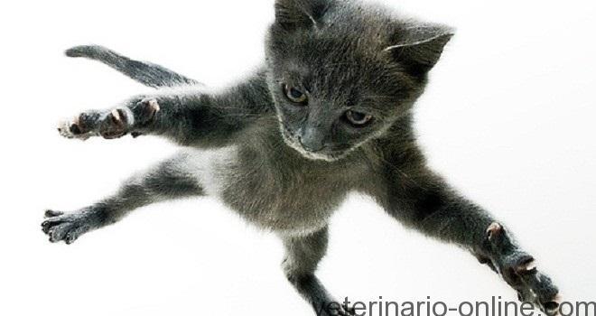 veterinario neumotorax gatos