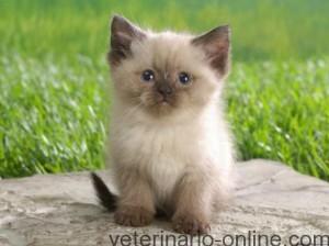 Paso de gatito a gato adulto