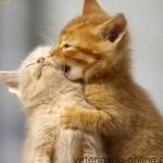 Castración en gatos