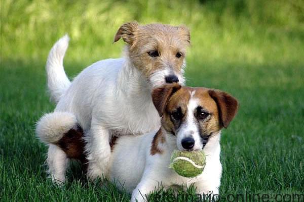 monta perro veterinario online